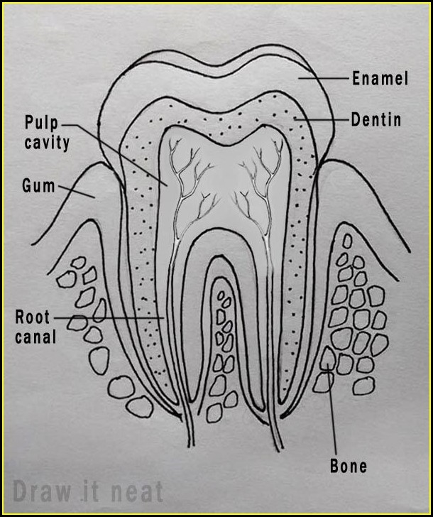 Diagram Of Human Teeth Roots