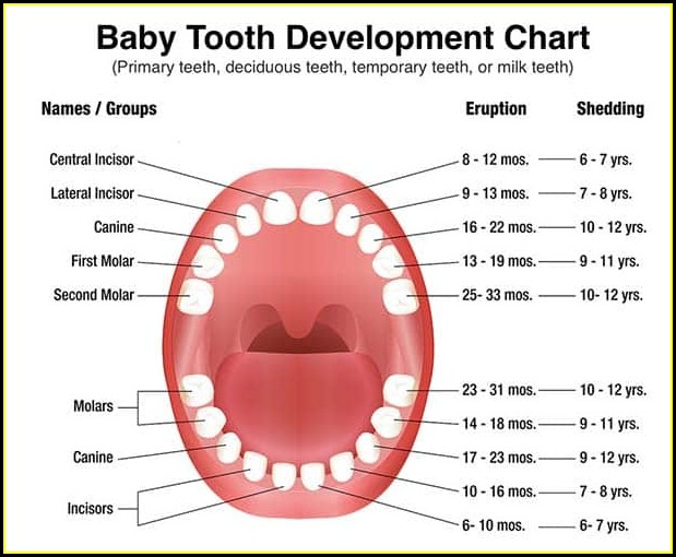 Diagram Of Human Teeth