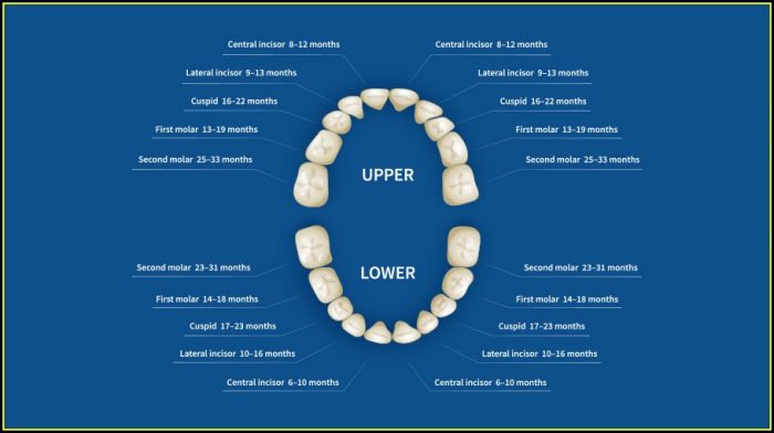 Human Teeth Names Diagram