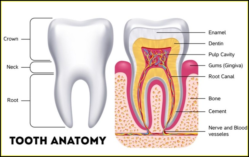 Human Teeth Structure And Function